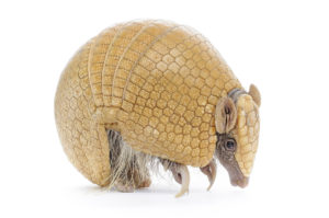 Dallas Armadillo