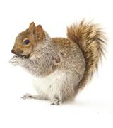 Squirrel Dallas