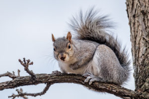 Dallas-Squirrel