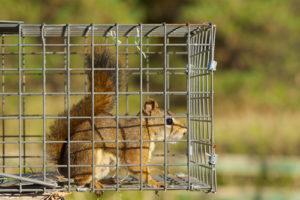 squirrel control dallas