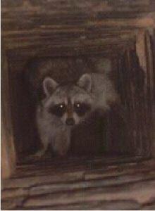 Dallas Raccoon
