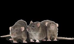 critter-rats