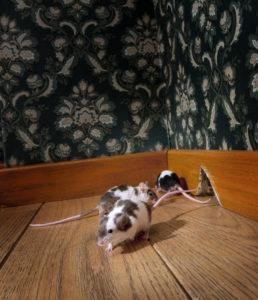 mice control dallas