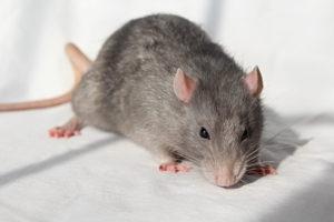 Dallas Rats In The Attic
