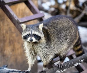 Raccoon Dallas