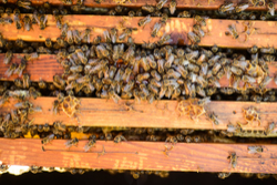 Dallas Bee Removal
