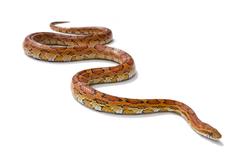 Dallas Snake