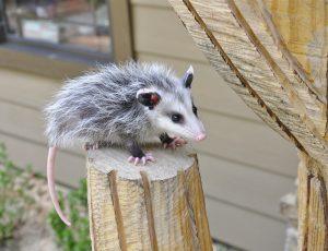 Dallas Opossum Removal