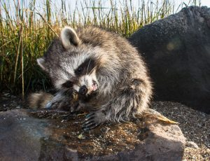 Symptoms of a sick raccoon