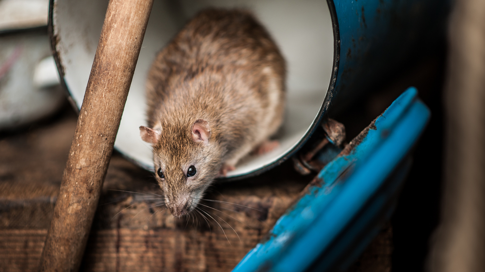 5 Things That Attract Rats to Your Kitchen