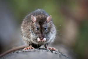 Common Rodents in Dallas to Protect Your Property From