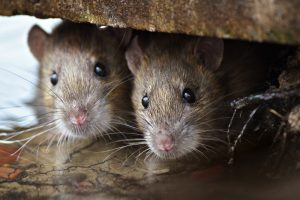 Reasons Rodents Love Your Home