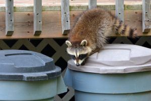 5 Raccoon Prevention Tips