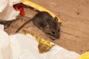 The Risks Rodents Can Bring to Your Home