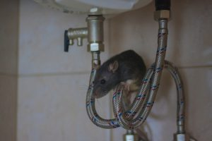Can Rats Enter the Home From Plumbing?