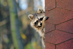 5 Ways Raccoons Get in Your Home