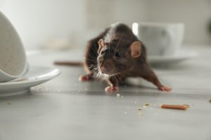 What To Do If You Have a Mouse Problem